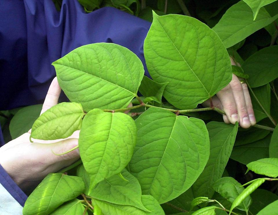 Japanese knotweed can cause structural damage to property that is expensive to rectify (Barry Batchelor/PA) (PA Archive)