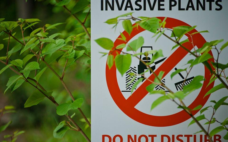 japanese knotweed - Getty images