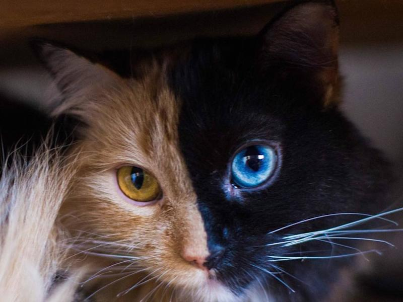 Colored Cat With  Different Colored Eyes