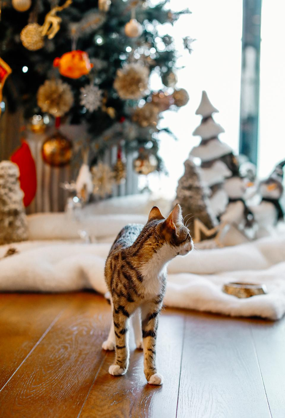 Adorable tabby cat sitting at christmas lights and wrapped gift boxes under christmas tree with red and gold baubles. Cute Maine Coon relaxing in festive room. Merry Christmas!