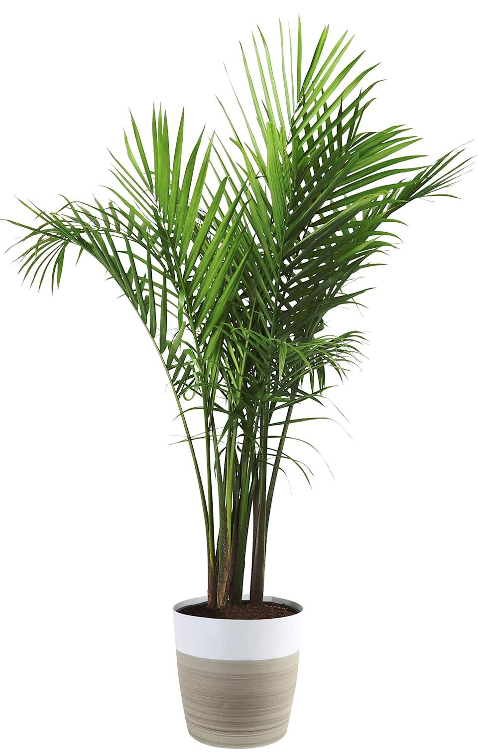 """<h3>Areca Palm</h3><br>This pretty palm is great for that awkward plot of space that you don't quite know what to do with. Plus, according to Bishop, it's super easy to care for. """"All you have to do is water it regularly, but try not to overwater your plant to prevent root rotting. Place in a sunny spot in your home that doesn't receive direct sunlight. This plant has many benefits and one of them is being one of the best air-purifying plants and it is also pet-safe,"""" he notes. <br><br><em>Shop</em> <strong><em><a href=""""https://amzn.to/2MFi6sY"""" rel=""""nofollow noopener"""" target=""""_blank"""" data-ylk=""""slk:Costa Farms"""" class=""""link rapid-noclick-resp"""">Costa Farms</a></em></strong><br><br><strong>Costa Farms</strong> Costa Farms Majesty Palm Tree, Live Indoor Plant, 3 to, $, available at <a href=""""https://amzn.to/3amhnUG"""" rel=""""nofollow noopener"""" target=""""_blank"""" data-ylk=""""slk:Amazon"""" class=""""link rapid-noclick-resp"""">Amazon</a>"""