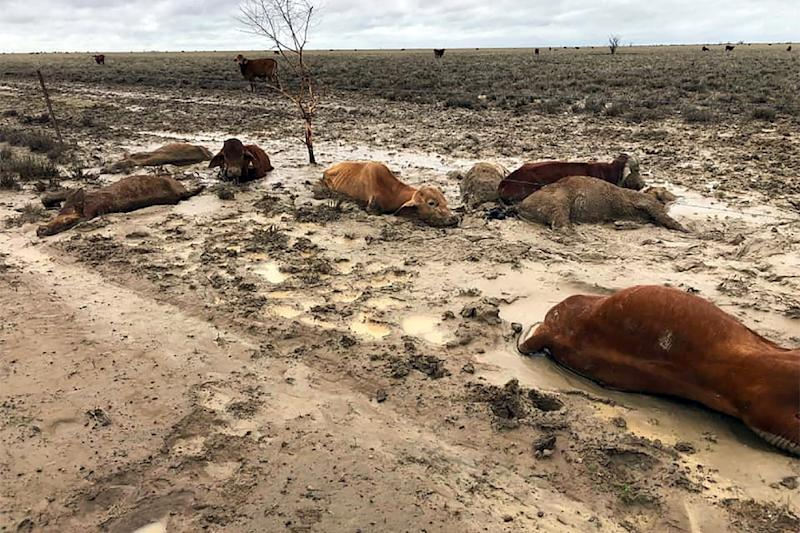 About half of Australia's 25-million strong cattle herd is bred in Queensland state, and graziers say the floods could devastate their industry (AFP Photo/Handout)