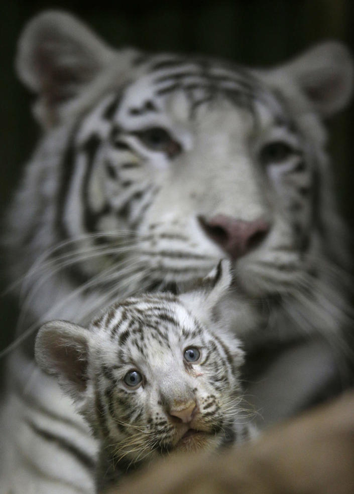 <p>A two-month old cub of rare white Indian tiger sits at the feet of its mother Surya Bara at a zoo in the city of Liberec, Czech Republic, April 26, 2016. (AP Photo/Petr David Josek) </p>