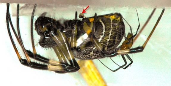 <i>Nephilengys malabarensis</i> male and female showing extreme sexual dimorphism where the much smaller male is resting on the female's abdomen after escaping from female cannibalism via emasculation during copulation. The self-emasculated mal