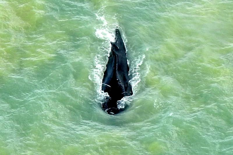 The three whales were first spotted in the river three weeks ago (AP)