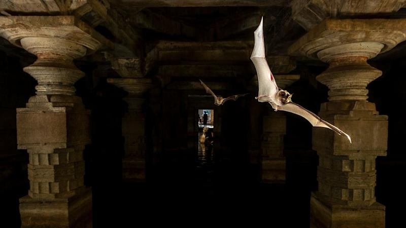 Bats in the caves of Hampi. Humans and bats have a long history of co-existence and their conservation is vital for the ecosystem. Photo by Yashpal Rathore.