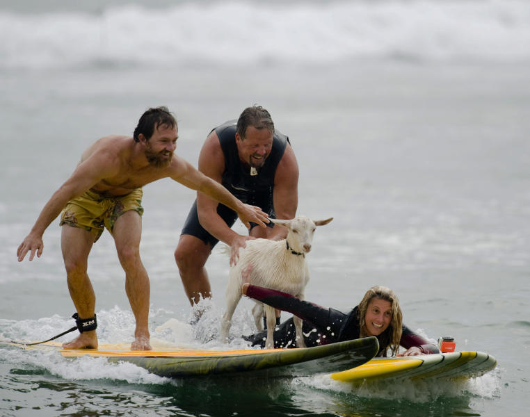 Dana McGregor, from Pismo Beach, far left, surfs with his pet goat Pismo and pals Mark and Debbie Gale, of San Clemente in San Clemente, Calif., on Wednesday July 11, 2012. McGregor started taking Pismo's mother Goatee to the beach, and it wasn't long before she was on a surfboard. When Pismo was born, McGregor put her on a board too, and she was a natural, he says. (AP Photo/The Orange County Register, Ron Veal) MAGS OUT; LOS ANGELES TIMES OUT;TV OUT: MANDATORY CREDIT
