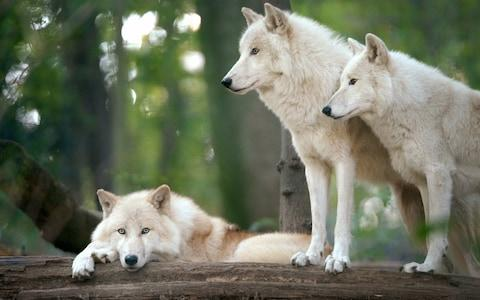 Take in the sights of grey wolves - Credit: iStock