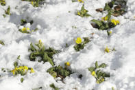 <p>Snow surrounds primroses in Westgate Gardens in the historic city of Canterbury, in Kent, south east England. The so-called 'Beast from the East' snow storm arrived in the Britain Monday and will continue on for the next few days as it chills most of Europe. (AP Photo/Matt Dunham) </p>