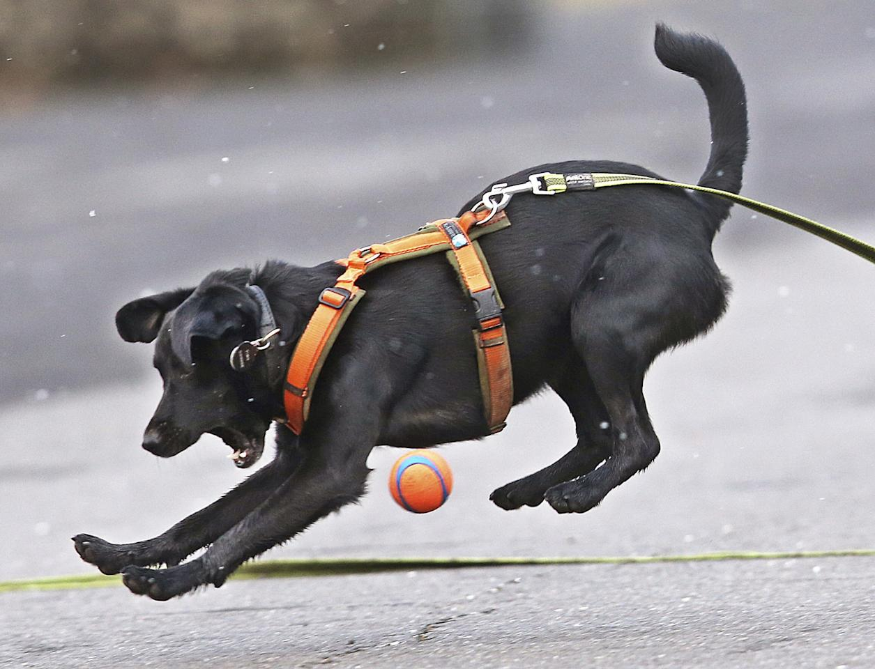 <p></p><p>Mixed-breed dog Tino, a former street dog from Slovakia whose owner got him from a Frankfurt dog pound, just misses as he jumps for a ball in Frankfurt. (AP Photo/Michael Probst) </p><p></p>