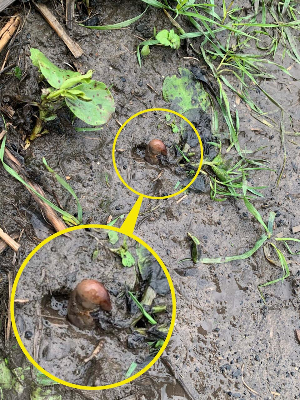 The potato was pointing up out of the ground in a muddy field (Caters)