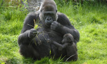 <p>Western lowland gorilla are the most numerous gorilla species, but are still critically endangered. (Photo: WWF) </p>