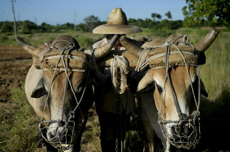 Farmers work in a field using oxen to plow the land in Los Palacios, Pinar del Rio province (AFP Photo/YAMIL LAGE)