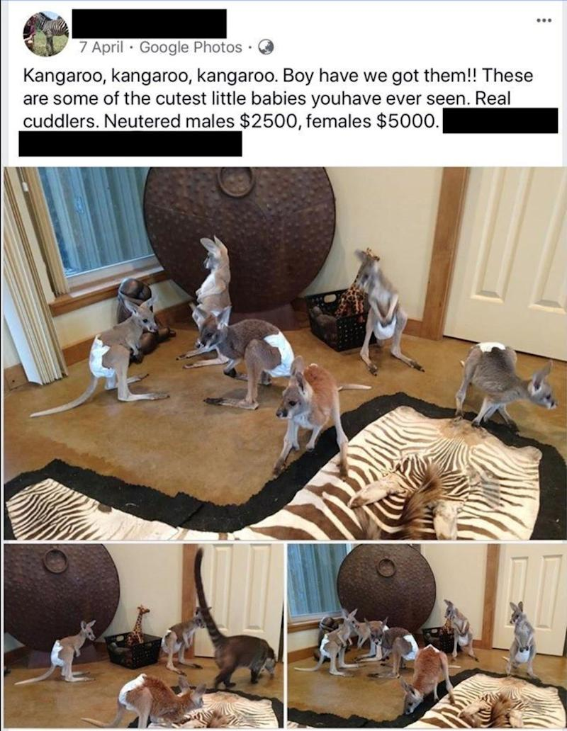 An image shared to Facebook shows six baby kangaroos for sale in the US. Source: Facebook