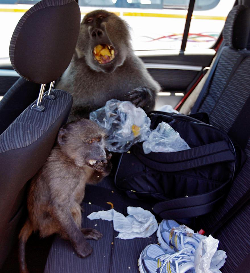 A baboon called Fred, back ground, sits inside a car with a baboon called Michael Jackson, left, as he eats at Cape Point on the outskirts of  Cape Town, South Africa, Tuesday,  Nov. 24, 2009. Visitors heading to South Africa premier holiday destination during the 2010 World Cup maybe worried about becoming victims of the country's high crime rate but they are more likely to find themselves robbed or mugged by a rather furry kind of felon: baboons. The baboons were named local officials who are supposed to prevent baboons from entering houses and cars. (Photo/Schalk van Zuydam)