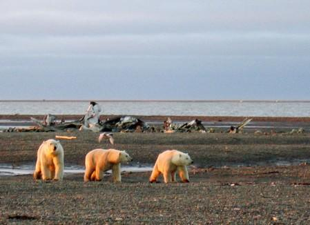 FILE PHOTO : Polar bears are seen within the 1002 Area of the Arctic National Wildlife Refuge