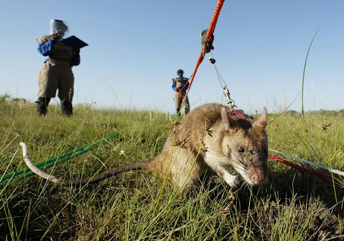 A mine detecting Gambian giant pouch rat (Cricetomys Gambianus) works an area in a mine field near Vilancoulos in southern Mozambique. The African species first appeared on Grassy Key, Fla., in 1999 after eight rats escaped from a local exotic pets breeder. REUTERS/Howard Burditt/Files
