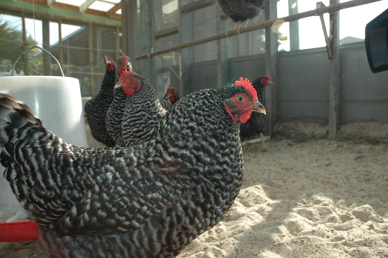 The St. Lucie Mosquito Control District uses chicken flocks as part of an early warning program to detect the presence of St. Louis encephalitis, eastern equine encephalitis and West Nile viruses. Several chickens have recently tested positive for antibodies for West Nile virus in rural areas of St. Lucie County. There are currently no confirmed human cases in the county.