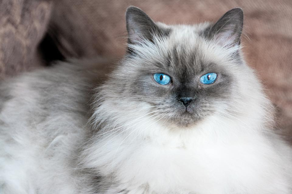 Gray cat with blue eyes lying on a sofa