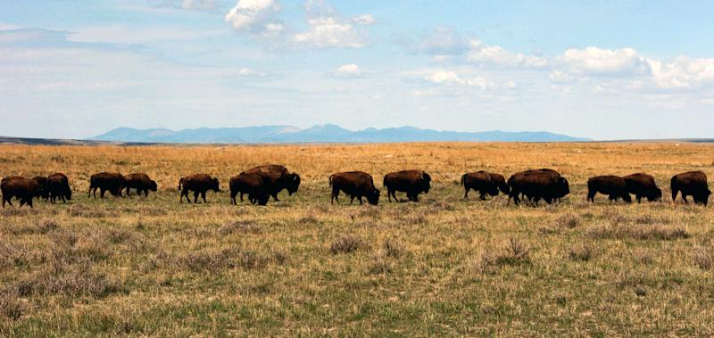 A herd of bison move through land controlled by the American Prairie Reserve south of Malta, Mont. in this April 25, 2012 photograph. The reserve's operators on Tuesday, Aug. 21, 2012,  bought a 150,000 acre ranch in Valley County as part of their effort to create a multi-million-acre wildlife complex for up to 10,000 bison and other animals on the prairies of north-central Montana. (AP Photo/Matt Brown)