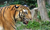 <p>The South China tiger is now believed to be extinct in the wild, and it has not been sighted for around 25 years. (Photo: WWF) </p>