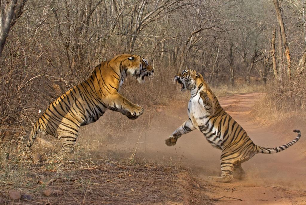 Ranthambhore National Park, Rajasthan, India - Machli showing her spirit, fights with 'Star male', also known as T28.
