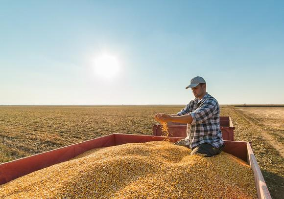 Agricultural worker in a corn combine checking harvested crop.