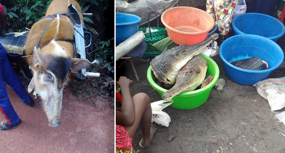 Wild pigs and crocodilians are commonly butchered for their meat. Source: Conserv Congo