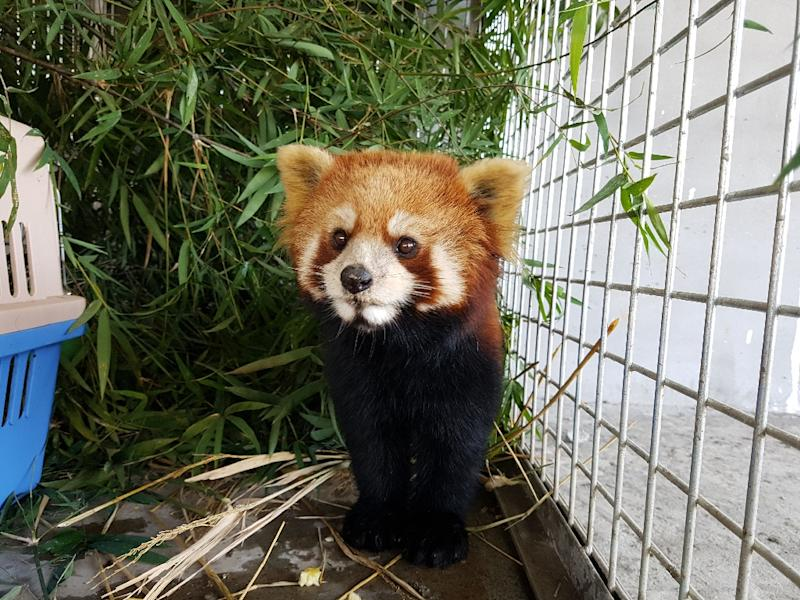 According to an assessment from the IUCN Red List of Threatened Species, the interest in red pandas as pets may have grown partly in response to the increasing number of 'cute' images of the animals shared on social media (AFP Photo/Handout)