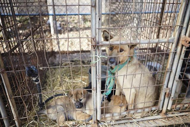 <p>In this image released on Tuesday, Jan. 6, 2015, in December 2014, Humane Society International visited a farm in Ilsan, South Korea, where dogs were being raised for the dog meat trade. HSI worked with the farmer and secured an agreement with him to stop raising dogs for food and move permanently to growing crops as a more humane way to make a living. HSI, the international affiliate of The Humane Society of the United States, is working to reduce the dog meat trade in Asia, including South Korea, where dogs are farmed for the industry. HSI plans to work with more South Korean dog meat farmers to help them transition out of this cruel business. In this image, a mother dog sits in a cage with her puppies at the farm. The dogs on South Korean farms live their entire lives in cages with little attention from the farmers, even for food and water. Additionally, animal protection laws there are routinely ignored in the trade such as killing dogs in front of other dogs. Their suffering is endless. (Manchul Kim/AP Images for Humane Society International) </p>