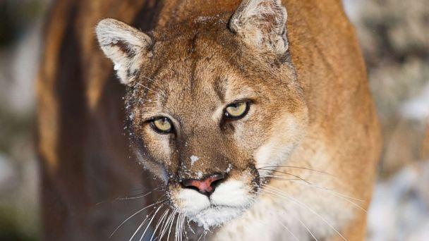 PHOTO: A cougar is pictured in this undated stock photo. (STOCK PHOTO/Getty Images)