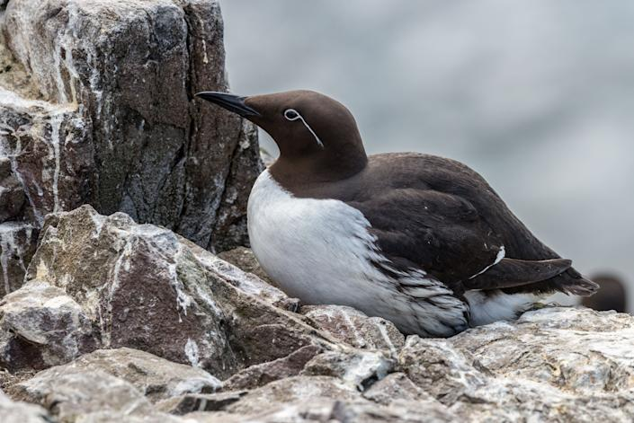 A common murre on a cliff ledge nest in the Farne Islands of Northumberland, England. (Photo: bearacreative via Getty Images)