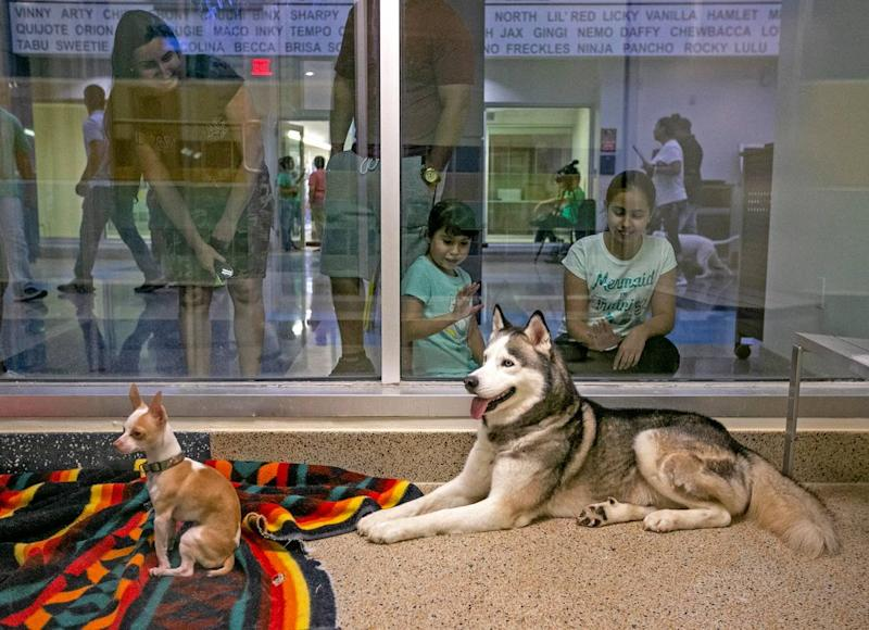 Two dogs wait to be pick for adoption at the Miami-Dade County Animal Services Pet Adoption and Protection Center in Miami. Hundreds of shelters across the country waived their adoption fees to celebrate Clear The Shelters Day on Saturday, August 17, 2019.