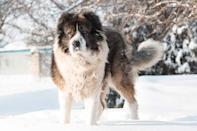 <p>This is a fierce guard dog breed that is probably not for first-time dog owners. That fierceness comes from their history: Caucasian Shepherds were used for centuries to protect properties from trespassers and to guard livestock from predators such as wolves and coyotes. </p>