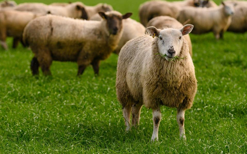 The sheep will be used to graze off cover crops - Mark Mackenzie