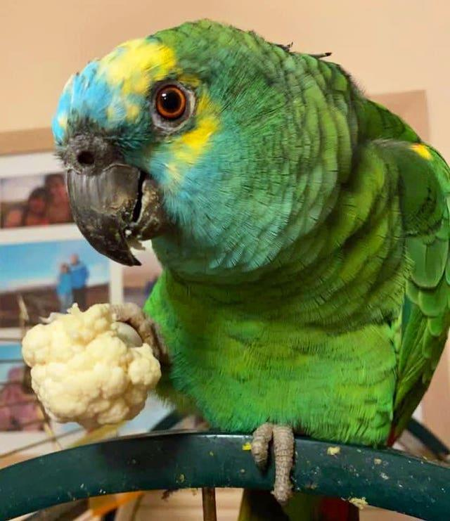 Bud the parrot strict diet