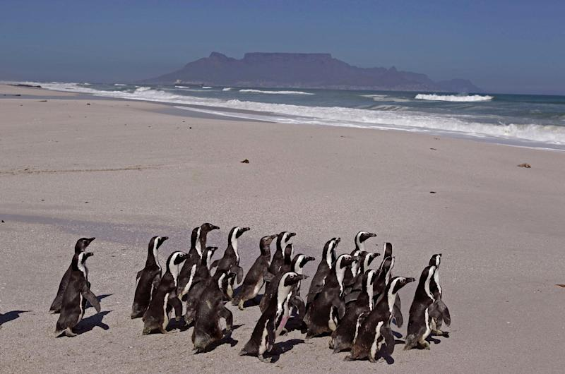 Penguins walk to the ocean with Table Mountain as backdrop, during their release by workers from the South African Foundation for the Conservation of Coastal Birds, SANCCOB, on the outskirts of the city of Cape Town, South Africa, Tuesday, Sept 25, 2012. (AP Photo/Schalk van Zuydam)