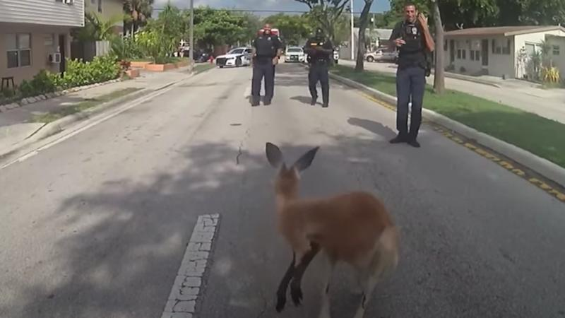 Police officer surround a stray kangaroo on the streets of Florida.