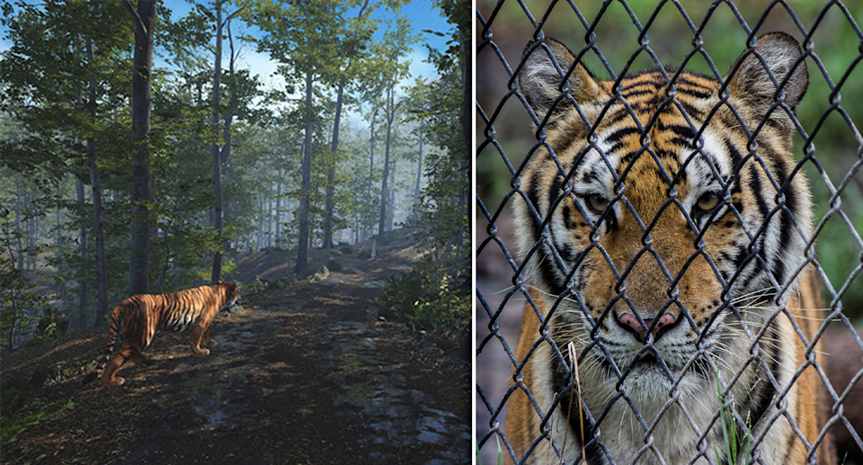Left - virtual reality tiger screenshot. Right - Close up of a tiger behind wire.