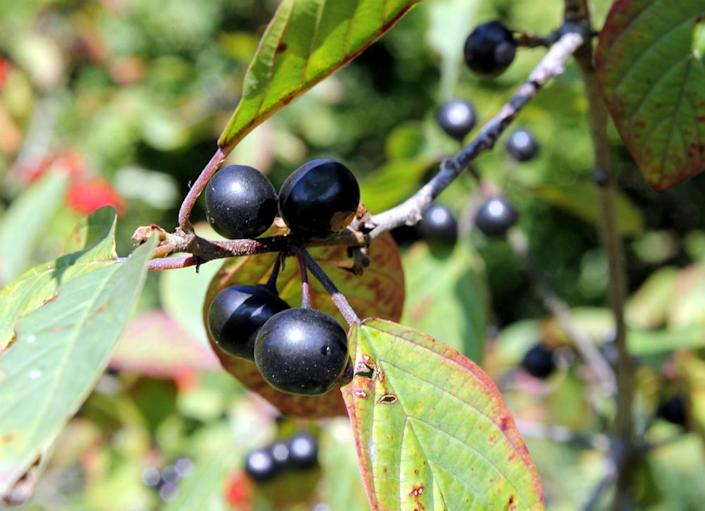 """<body> <p><em>Atropa belladonna</em>'s common name, deadly nightshade, should be an immediate tip that this plant is perhaps better left out of the <a rel=""""nofollow noopener"""" href="""" http://www.bobvila.com/slideshow/7-easy-budget-friendly-backyard-makeovers-44638#.VWzBq2RViko?bv=yahoo"""" target=""""_blank"""" data-ylk=""""slk:home garden"""" class=""""link rapid-noclick-resp"""">home garden</a>. Don't let the lush green foliage, purplish bell-shaped flowers, and glossy black berries fool you—this plant is extremely toxic and should be kept away from any gardens where children or pets could accidentally ingest it. </p> <p><strong>Related: <a rel=""""nofollow noopener"""" href="""" http://www.bobvila.com/slideshow/11-home-hazards-to-know-and-avoid-47723#.VWzBVGRViko?bv=yahoo"""" target=""""_blank"""" data-ylk=""""slk:11 Home Hazards to Know and Avoid"""" class=""""link rapid-noclick-resp"""">11 Home Hazards to Know and Avoid</a> </strong> </p> </body>"""