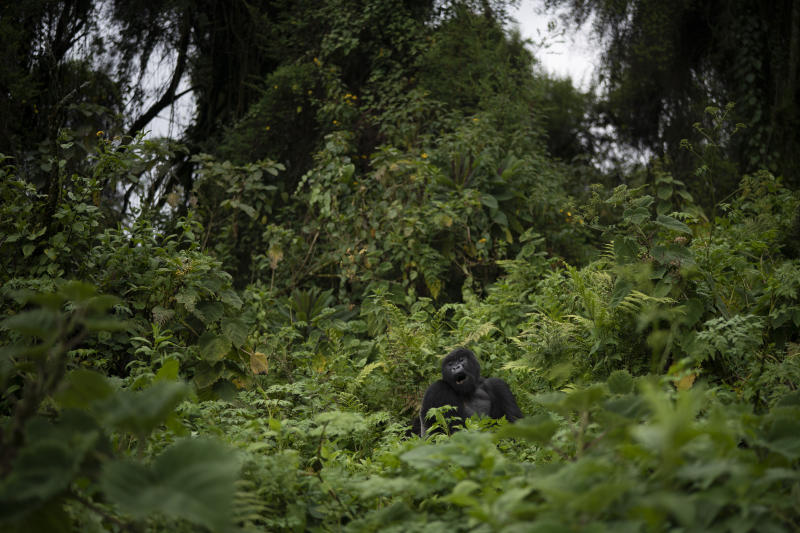 "A silverback mountain gorilla named Pato sits in Volcanoes National Park, Rwanda. ""The population of mountain gorillas is still vulnerable,"" says George Schaller, a renowned biologist and gorilla expert. (Photo: Felipe Dana/AP)"