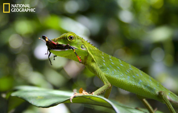 """On a walk through a northeastern Borneo rain forest a rattling noise caught my attention—there he sat, an amazingly green lizard munching on his crunchy red-black beetle snack ... What a lucky moment in colors only nature can bring up! (Photo and caption Courtesy Martin Winter / National Geographic Your Shot) <br> <br> <a href=""""http://ngm.nationalgeographic.com/your-shot/weekly-wrapper"""" rel=""""nofollow noopener"""" target=""""_blank"""" data-ylk=""""slk:Click here"""" class=""""link rapid-noclick-resp"""">Click here</a> for more photos from National Geographic Your Shot."""