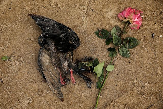 <p>A dead bird lies next to a rose on the bank of the River Thames during low tide in London, Britain on Jan. 23, 2017. (Photo: Stefan Wermuth/Reuters) </p>
