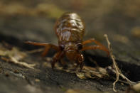 A cicada nymph crawls Sunday, May 2, 2021, in Frederick, Md. The cicadas of Brood X, trillions of red-eyed bugs singing loud sci-fi sounding songs, can seem downright creepy. Especially since they come out from underground only ever 17 years. (AP Photo/Carolyn Kaster)