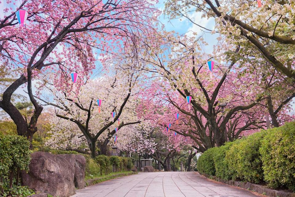 Path of the Asukayama Park overlooked by blooming Japanese cherry blossoms trees.
