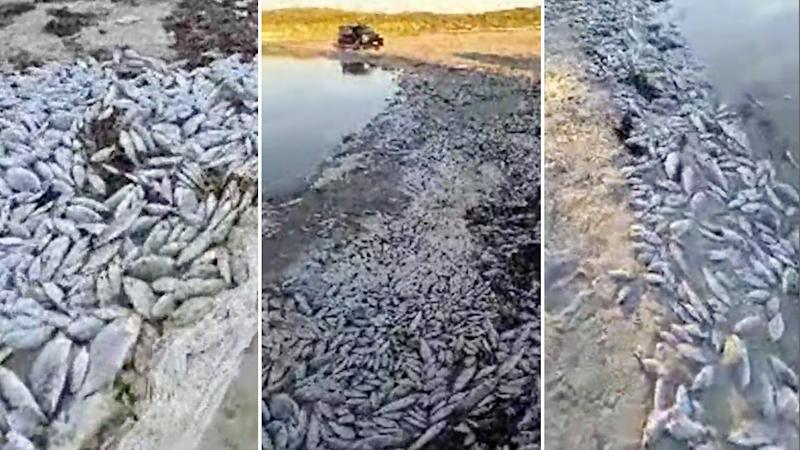 Pictured is thousands of dead fish washed up along a 100m section of the Greenough River in W.A