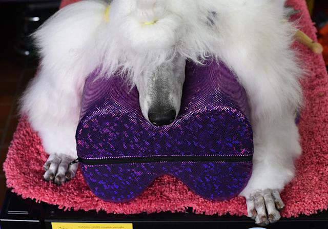 <p>A standard poodle waits in the benching area on Day One of competition at the Westminster Kennel Club 142nd Annual Dog Show in New York on Feb. 12, 2018. (Photo: Timothy A. Clary/AFP/Getty Images) </p>