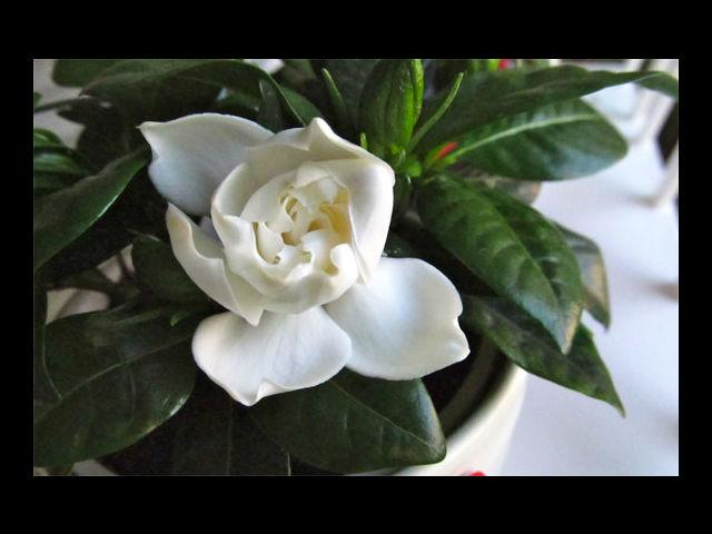 <b>Gardenia means Gorgeous</b><br> Because that is exactly what she is, why not give her the flowers that signify how gorgeous she really is and let her know in a special way!