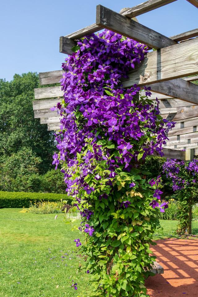 <p>This crawling flower vine will add a touch of natural beauty to your mailbox post. These pretty purple flowers love to climb—consider creating a wire structure to wind around your mailbox and guide the plant's growth.</p>