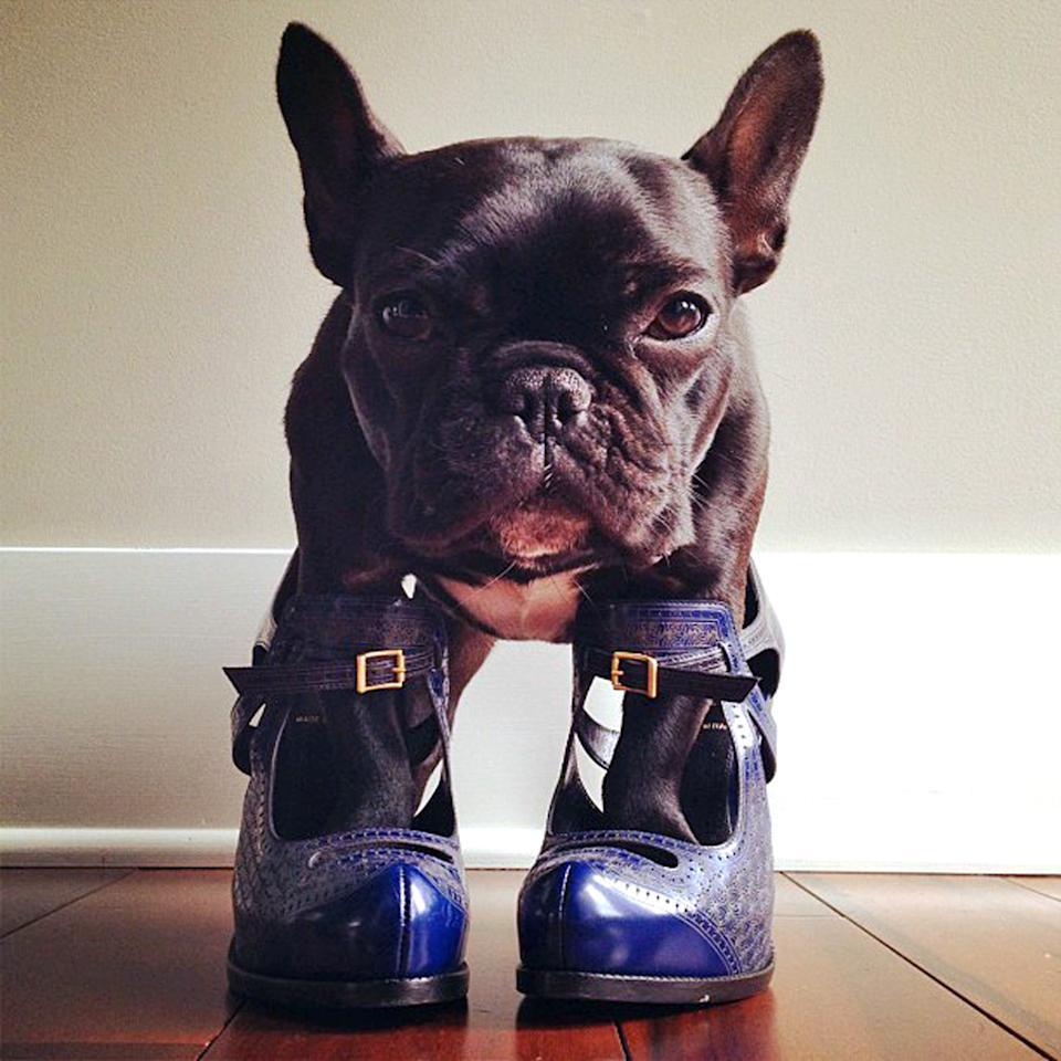 PIC BY SONYA YU / CATERS NEWS - (PICTURED: Trotter tests out some high heels) - An adorable little French Bulldog has been playing dress-up and has impressively gathered a following of 30,000 on Instagram. The photogenic hipster, called Trotter, wears a range of outfits from a beret, moustache, top hat and pipe to high heels. Owner and Trotters photographer Sonya Yu said her little pup is simply a natural in front of the camera. SEE CATERS COPY